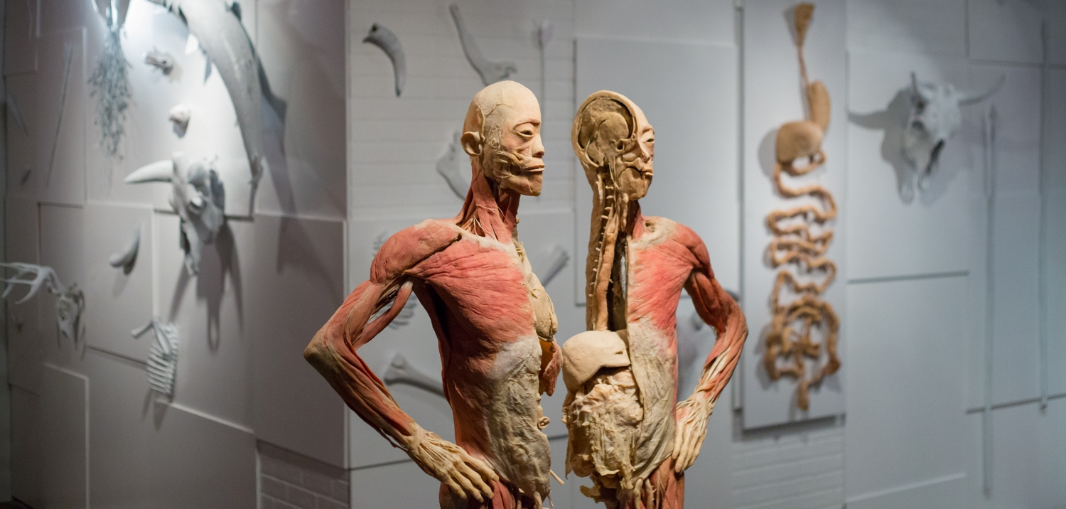 Real Bodies The Exhibition 2018 Ticketbooth Australia